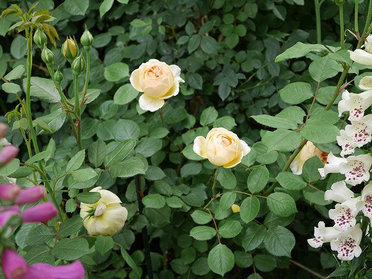 ジュード・ジ・オブスキュア(ツルバラ)の花が増えて来た。2019年-13.jpg