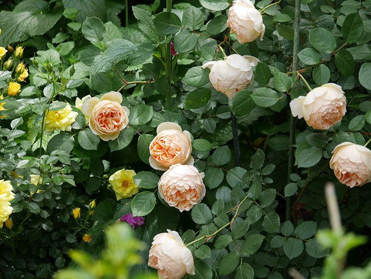 ジュード・ジ・オブスキュア(ツルバラ)の花が増えて来た。2019年-14.jpg