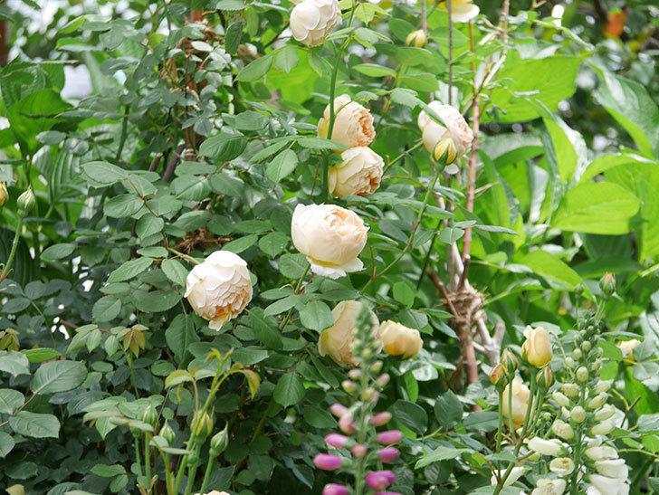 ジュード・ジ・オブスキュア(ツルバラ)の花が増えて来た。2019年-15.jpg