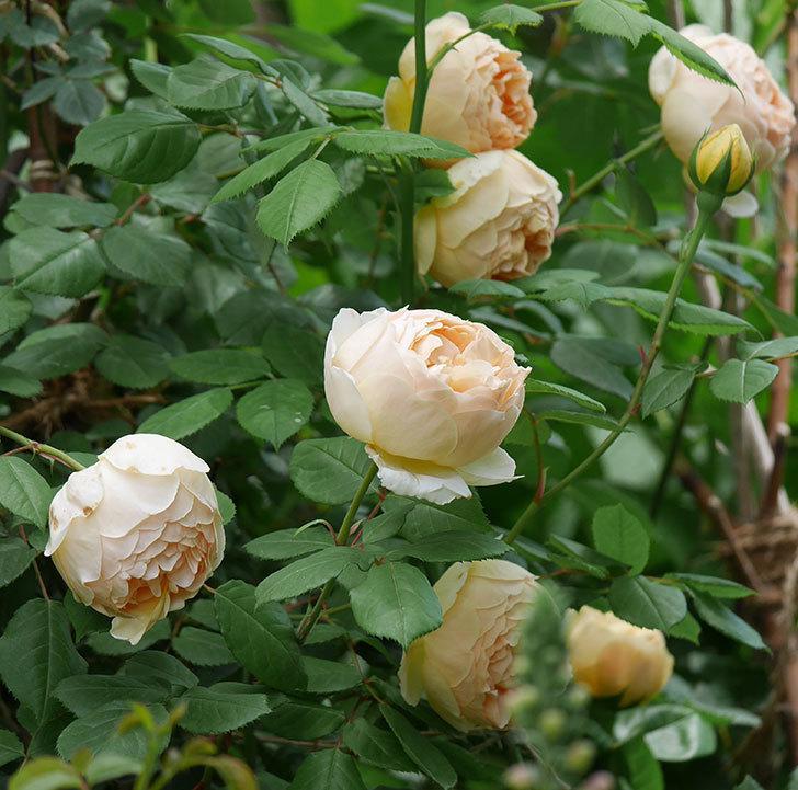 ジュード・ジ・オブスキュア(ツルバラ)の花が増えて来た。2019年-16.jpg