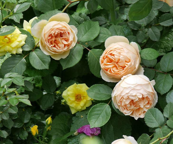 ジュード・ジ・オブスキュア(ツルバラ)の花が増えて来た。2019年-17.jpg