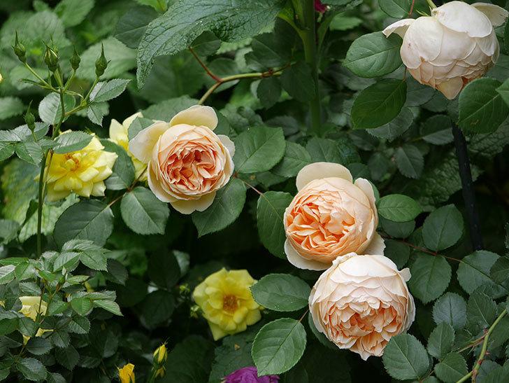 ジュード・ジ・オブスキュア(ツルバラ)の花が増えて来た。2019年-18.jpg