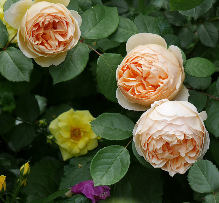 ジュード・ジ・オブスキュア(ツルバラ)の花が増えて来た。2019年-19.jpg