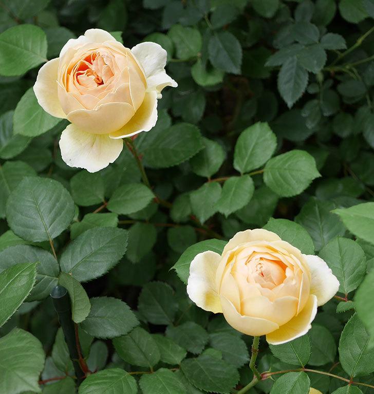 ジュード・ジ・オブスキュア(ツルバラ)の花が増えて来た。2019年-2.jpg