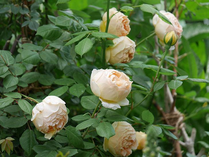 ジュード・ジ・オブスキュア(ツルバラ)の花が増えて来た。2019年-20.jpg