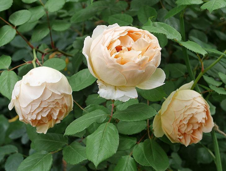 ジュード・ジ・オブスキュア(ツルバラ)の花が増えて来た。2019年-3.jpg