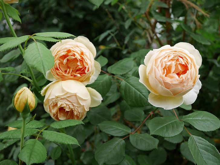 ジュード・ジ・オブスキュア(ツルバラ)の花が増えて来た。2019年-4.jpg
