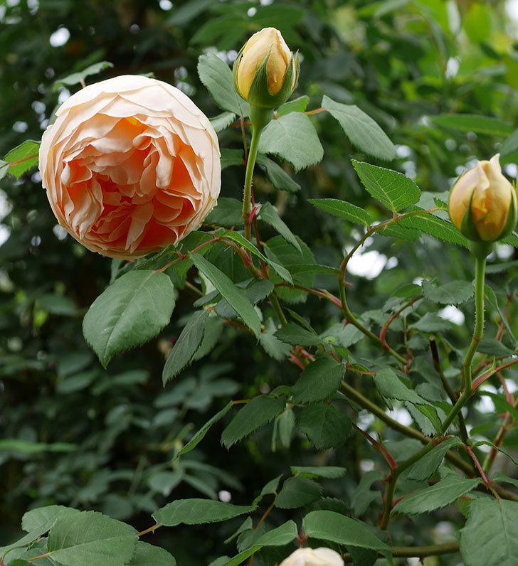 ジュード・ジ・オブスキュア(ツルバラ)の花が増えて来た。2019年-6.jpg