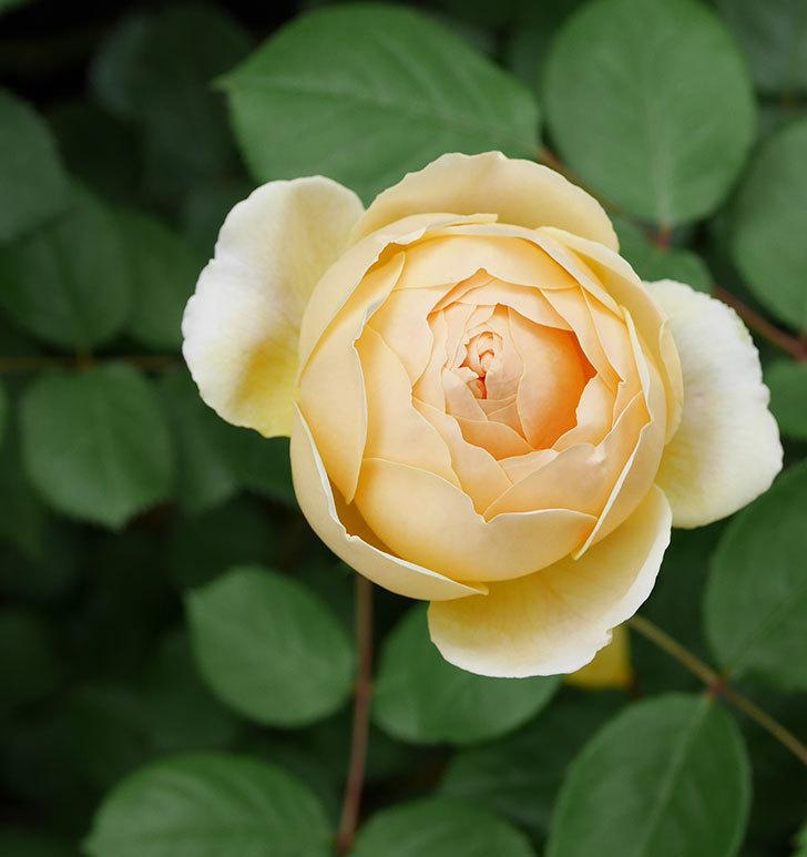 ジュード・ジ・オブスキュア(ツルバラ)の花が増えて来た。2019年-7.jpg