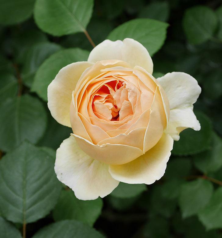 ジュード・ジ・オブスキュア(ツルバラ)の花が増えて来た。2019年-8.jpg
