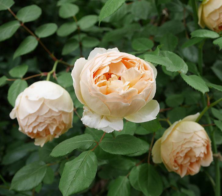 ジュード・ジ・オブスキュア(ツルバラ)の花が増えて来た。2019年-9.jpg