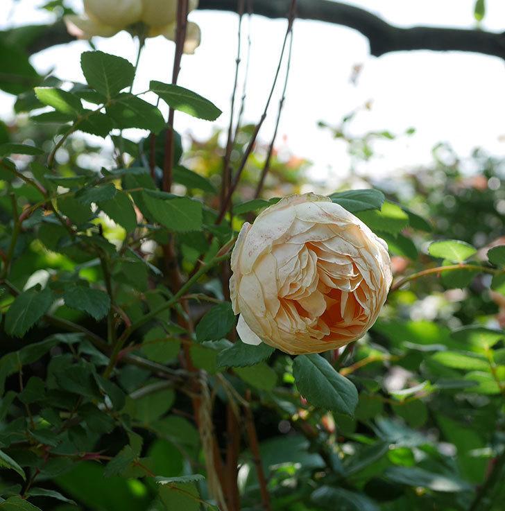 ジュード・ジ・オブスキュア(ツルバラ)の花が房で咲きだした。2019年-10.jpg
