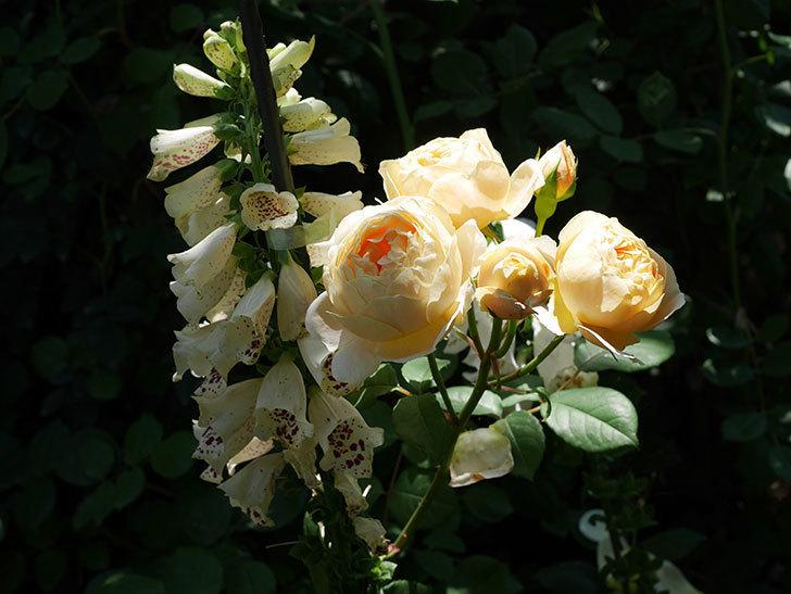 ジュード・ジ・オブスキュア(ツルバラ)の花が房で咲きだした。2019年-11.jpg