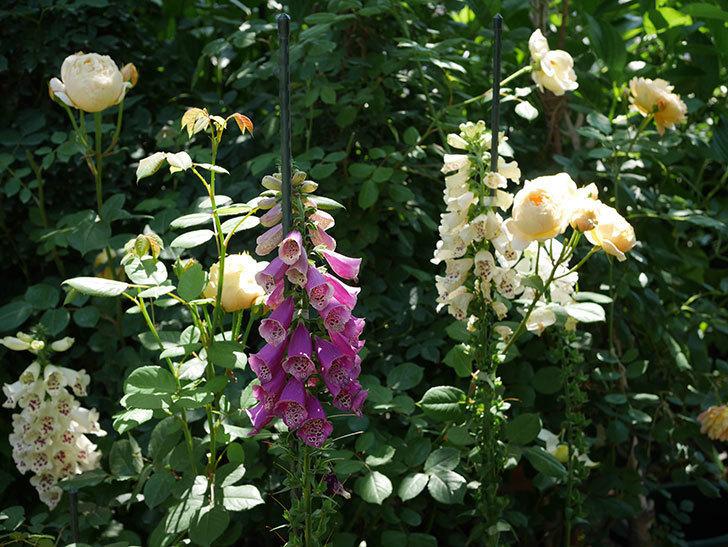 ジュード・ジ・オブスキュア(ツルバラ)の花が房で咲きだした。2019年-13.jpg