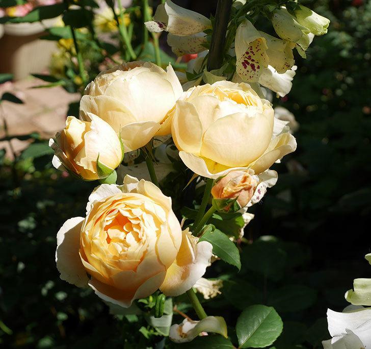 ジュード・ジ・オブスキュア(ツルバラ)の花が房で咲きだした。2019年-14.jpg