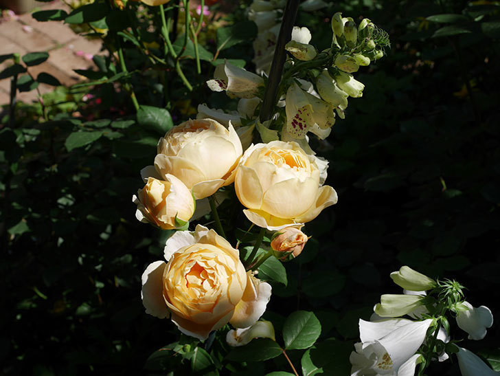 ジュード・ジ・オブスキュア(ツルバラ)の花が房で咲きだした。2019年-15.jpg