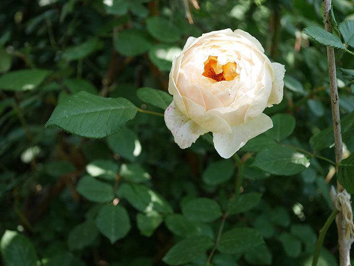 ジュード・ジ・オブスキュア(ツルバラ)の花が房で咲きだした。2019年-16.jpg