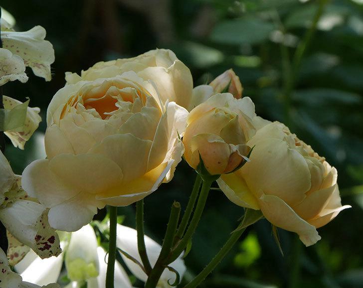 ジュード・ジ・オブスキュア(ツルバラ)の花が房で咲きだした。2019年-3.jpg