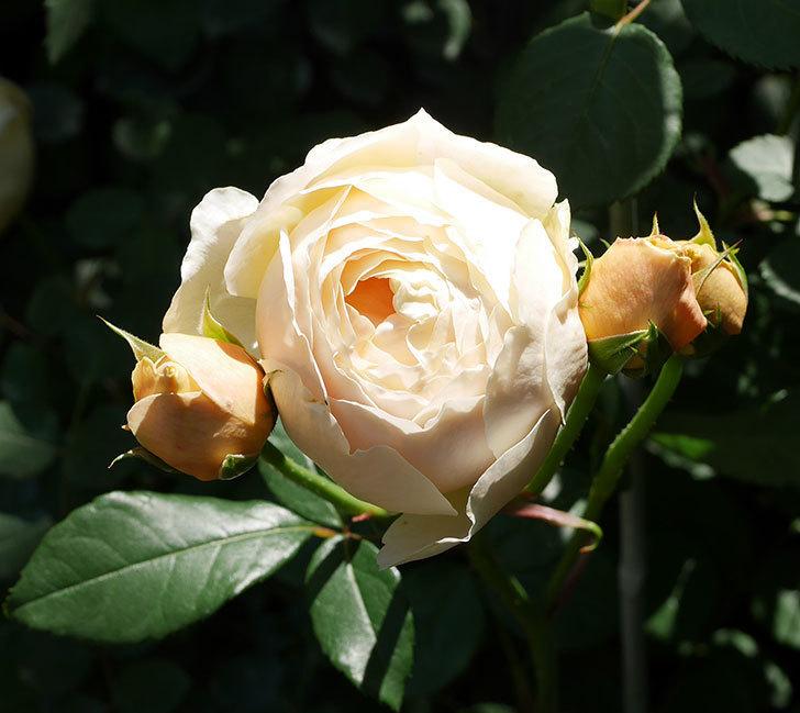 ジュード・ジ・オブスキュア(ツルバラ)の花が房で咲きだした。2019年-4.jpg