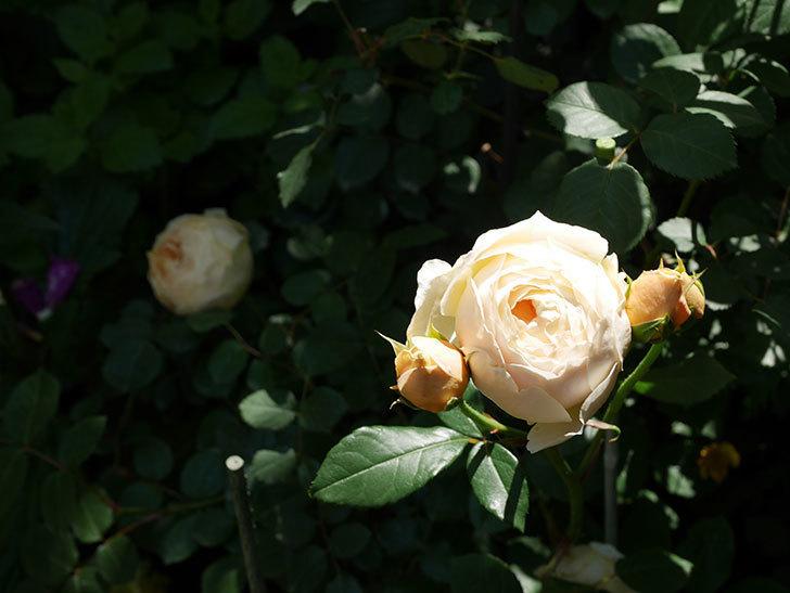 ジュード・ジ・オブスキュア(ツルバラ)の花が房で咲きだした。2019年-5.jpg