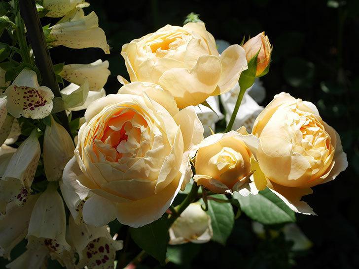 ジュード・ジ・オブスキュア(ツルバラ)の花が房で咲きだした。2019年-6.jpg