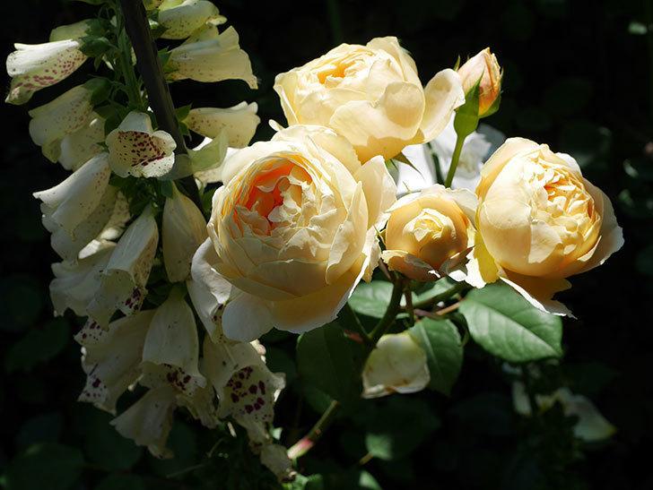 ジュード・ジ・オブスキュア(ツルバラ)の花が房で咲きだした。2019年-7.jpg