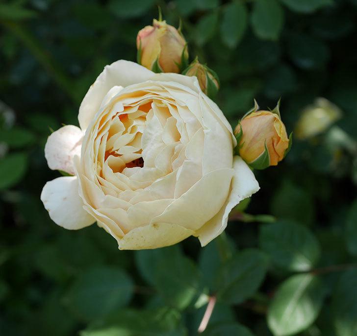 ジュード・ジ・オブスキュア(ツルバラ)の花が房で咲きだした。2019年-8.jpg