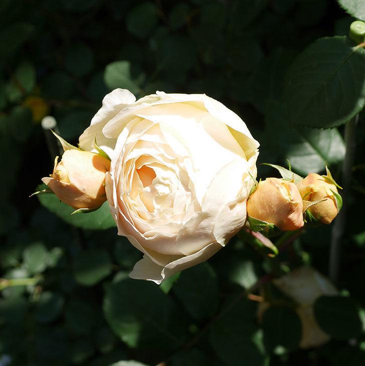 ジュード・ジ・オブスキュア(ツルバラ)の花が房で咲きだした。2019年-9.jpg