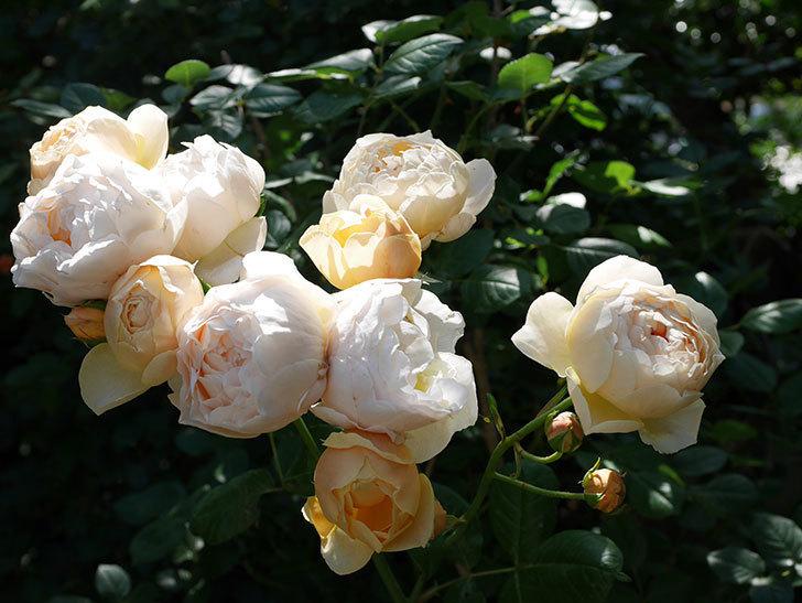 ジュード・ジ・オブスキュア(ツルバラ)の花が房咲いた。2018年-1.jpg