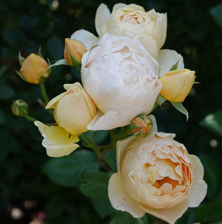 ジュード・ジ・オブスキュア(ツルバラ)の花が房咲いた。2018年-2.jpg