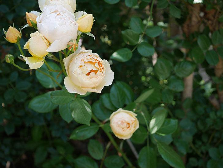 ジュード・ジ・オブスキュア(ツルバラ)の花が房咲いた。2018年-4.jpg