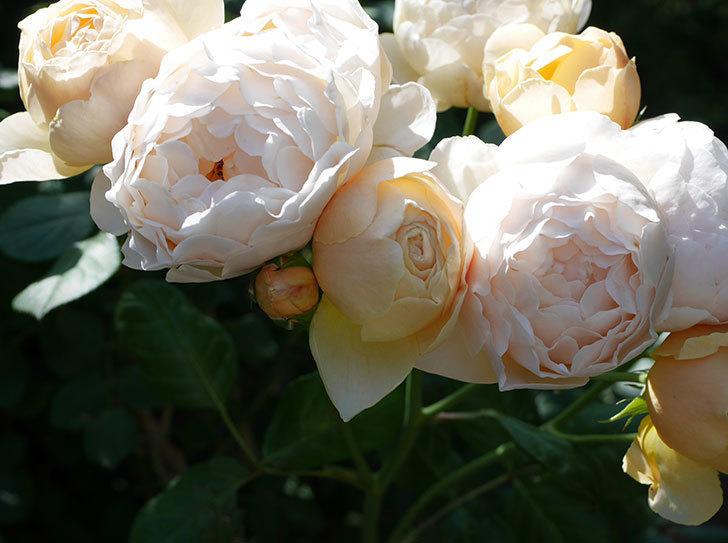 ジュード・ジ・オブスキュア(ツルバラ)の花が房咲いた。2018年-5.jpg