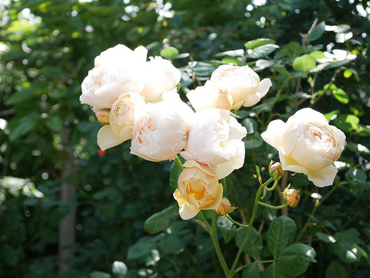 ジュード・ジ・オブスキュア(ツルバラ)の花が房咲いた。2018年-6.jpg