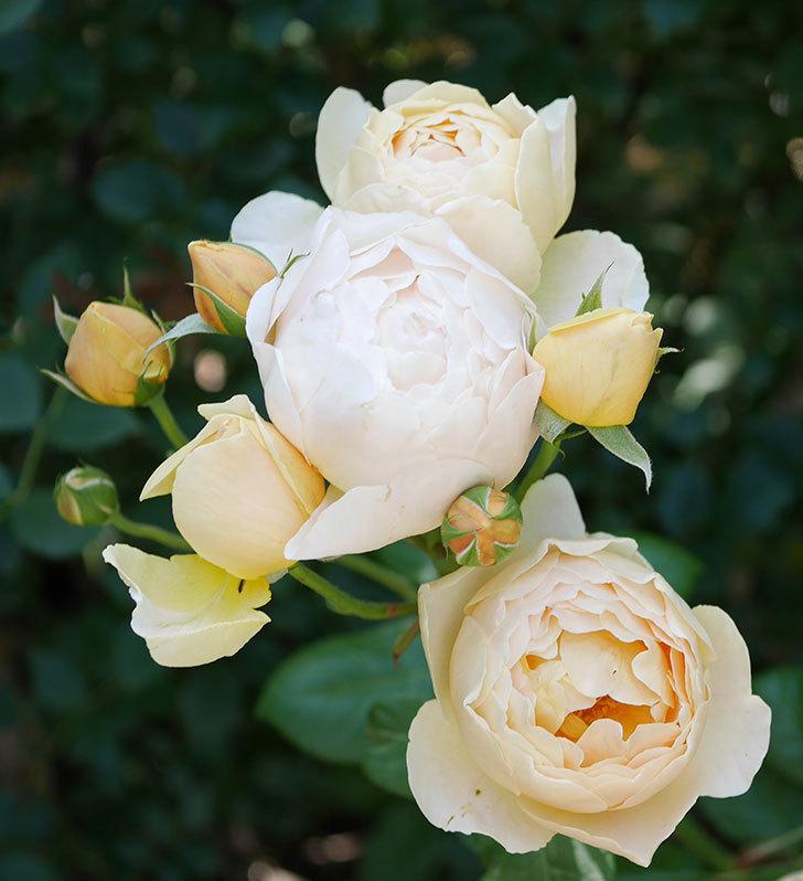 ジュード・ジ・オブスキュア(ツルバラ)の花が房咲いた。2018年-7.jpg