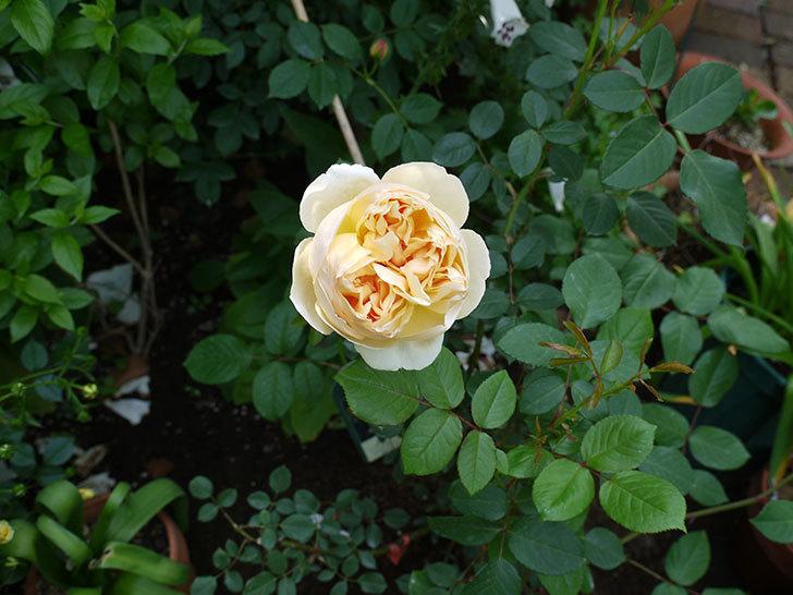ジュード・ジ・オブスキュア(ツルバラ)の花が綺麗に咲いた。2017年-4.jpg