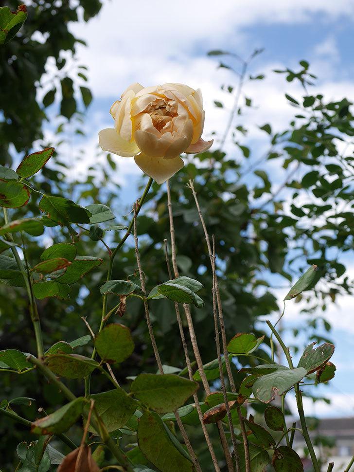 ジュード・ジ・オブスキュア(半ツルバラ)の秋花がまた咲いた。2019年-4.jpg