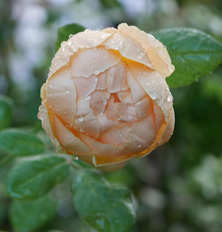 ジュード・ジ・オブスキュア(半ツルバラ)の秋花が咲いた。2019年-2.jpg