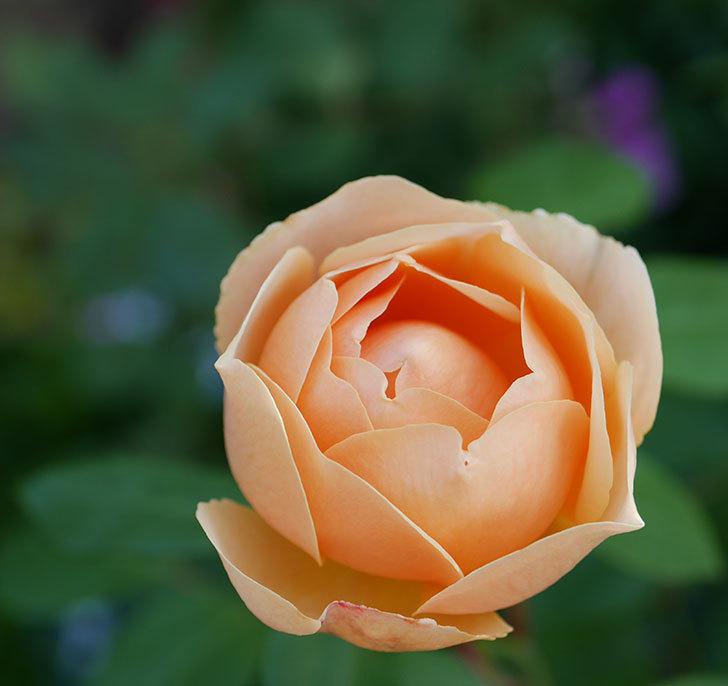 ジュード・ジ・オブスキュア(半ツルバラ)の花が2番花が咲いた。2019年-1.jpg
