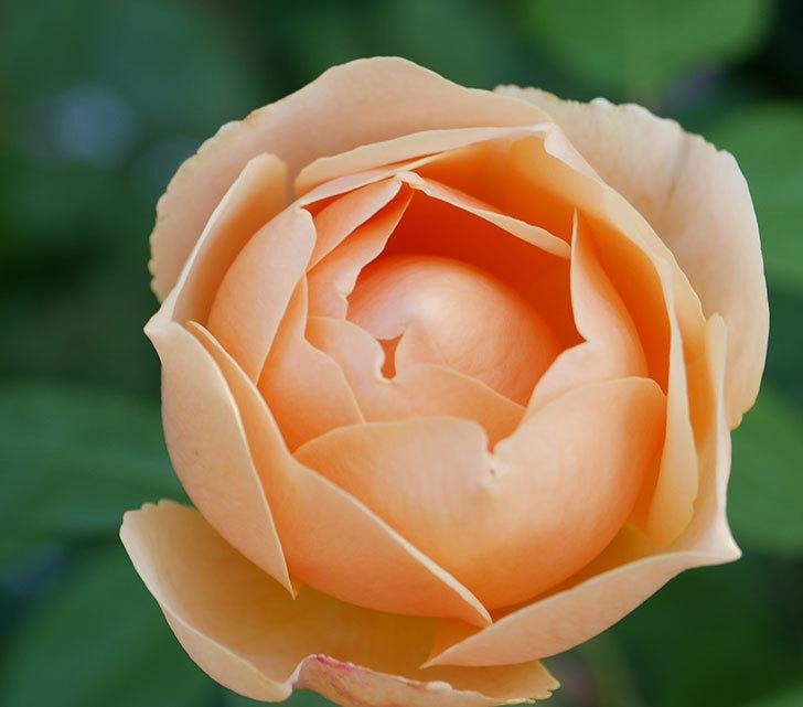 ジュード・ジ・オブスキュア(半ツルバラ)の花が2番花が咲いた。2019年-4.jpg