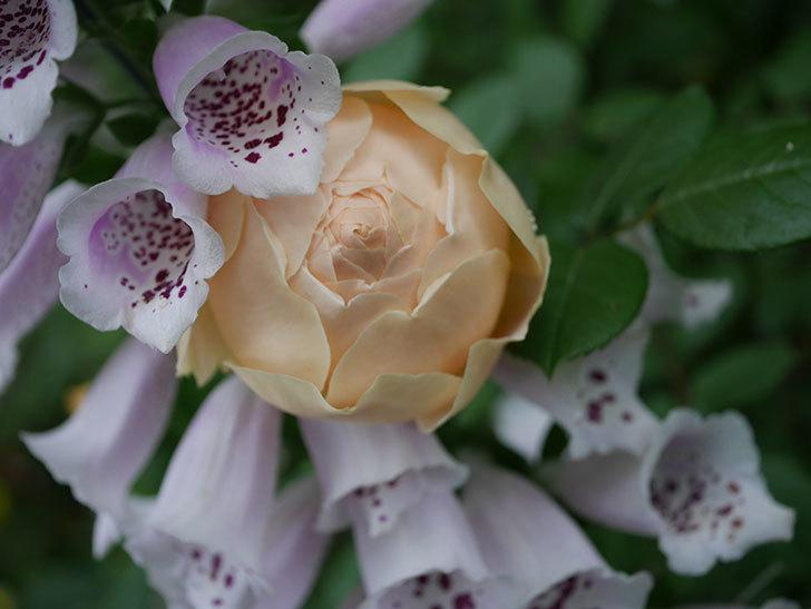 ジュード・ジ・オブスキュア(半ツルバラ)の花がたくさん咲いた。2020年-001.jpg