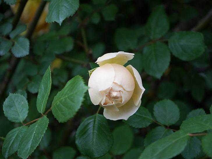 ジュード・ジ・オブスキュア(半ツルバラ)の花がたくさん咲いた。2020年-002.jpg