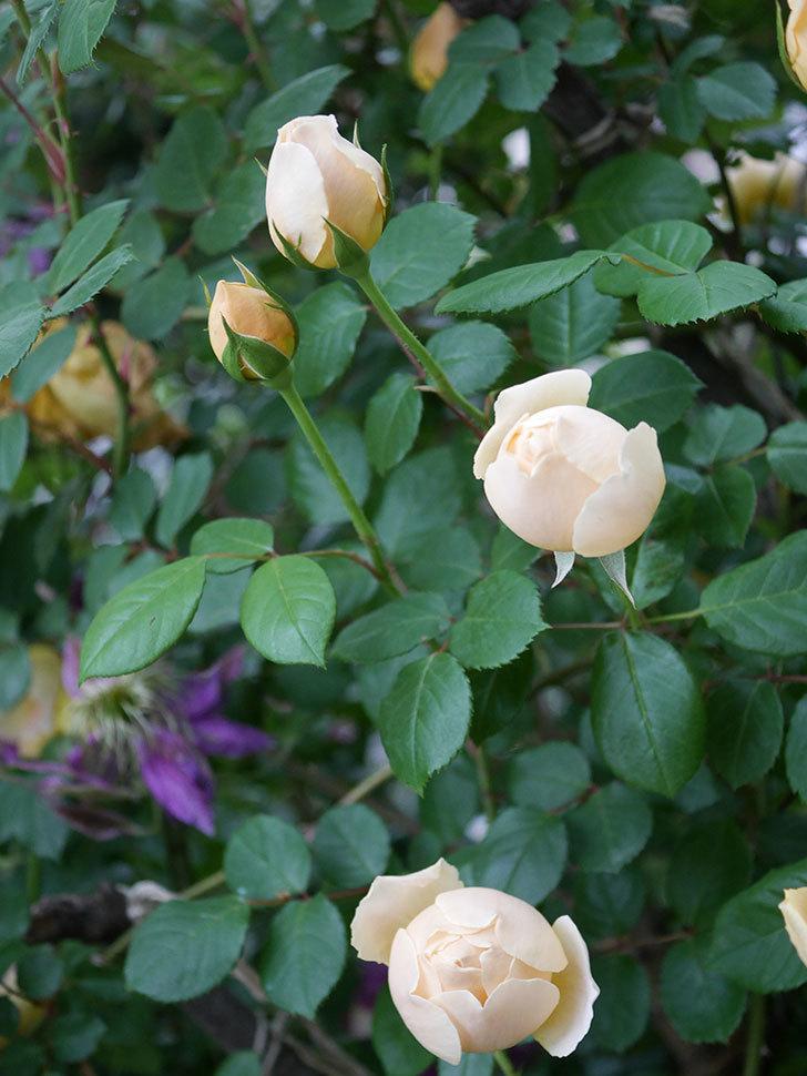 ジュード・ジ・オブスキュア(半ツルバラ)の花がたくさん咲いた。2020年-003.jpg