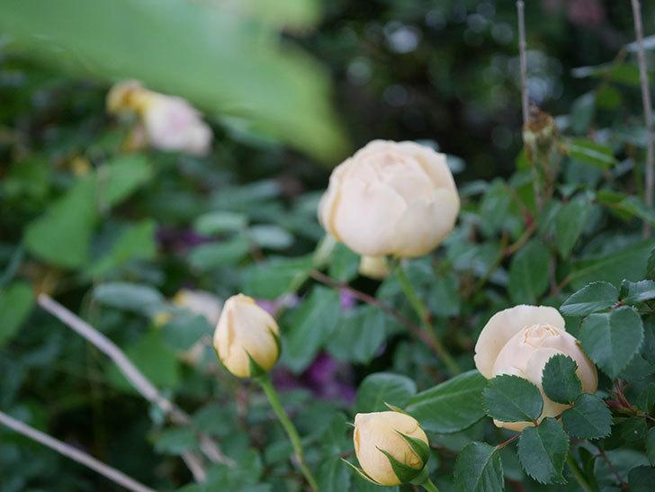 ジュード・ジ・オブスキュア(半ツルバラ)の花がたくさん咲いた。2020年-004.jpg