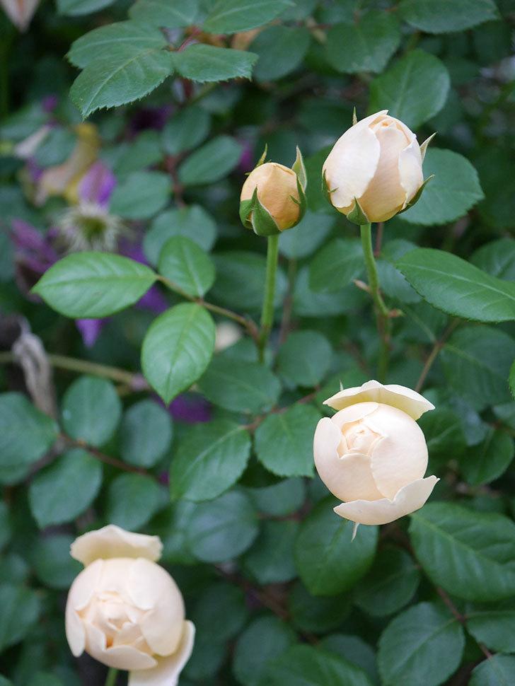 ジュード・ジ・オブスキュア(半ツルバラ)の花がたくさん咲いた。2020年-005.jpg