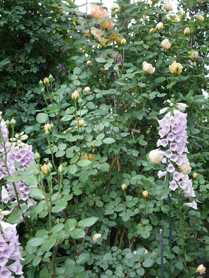 ジュード・ジ・オブスキュア(半ツルバラ)の花がたくさん咲いた。2020年-006.jpg
