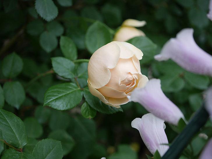 ジュード・ジ・オブスキュア(半ツルバラ)の花がたくさん咲いた。2020年-007.jpg