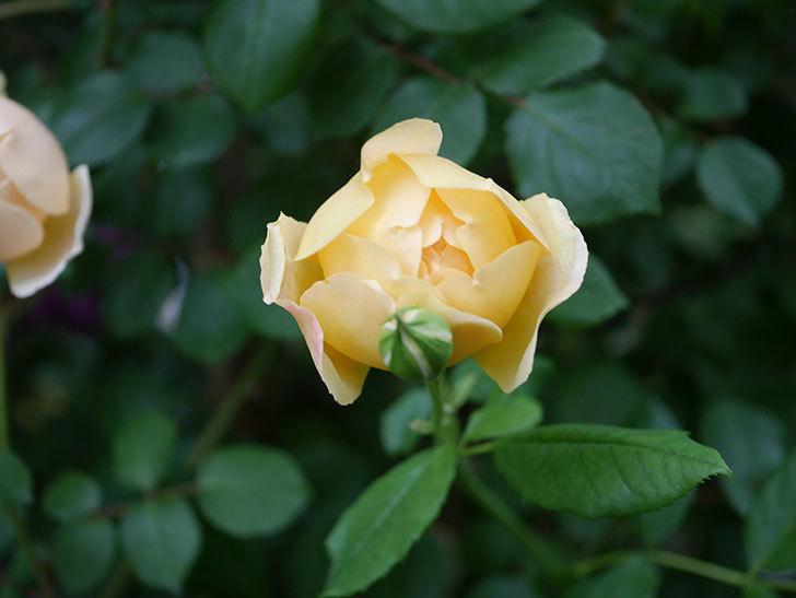 ジュード・ジ・オブスキュア(半ツルバラ)の花がたくさん咲いた。2020年-008.jpg