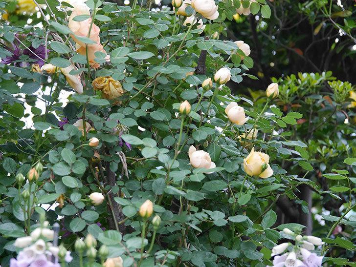 ジュード・ジ・オブスキュア(半ツルバラ)の花がたくさん咲いた。2020年-009.jpg