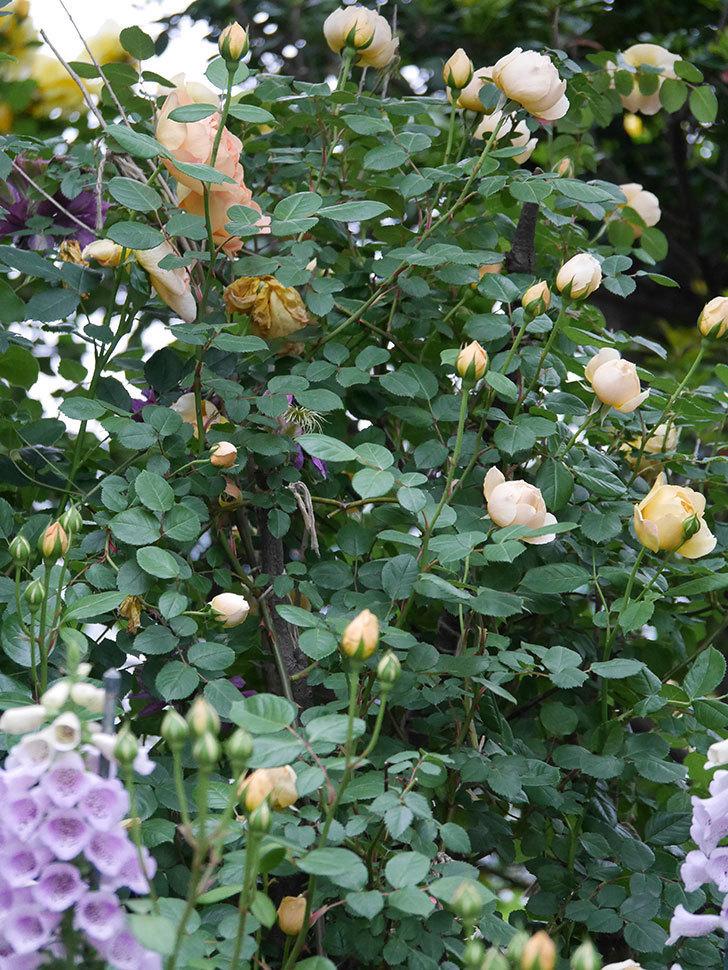 ジュード・ジ・オブスキュア(半ツルバラ)の花がたくさん咲いた。2020年-010.jpg
