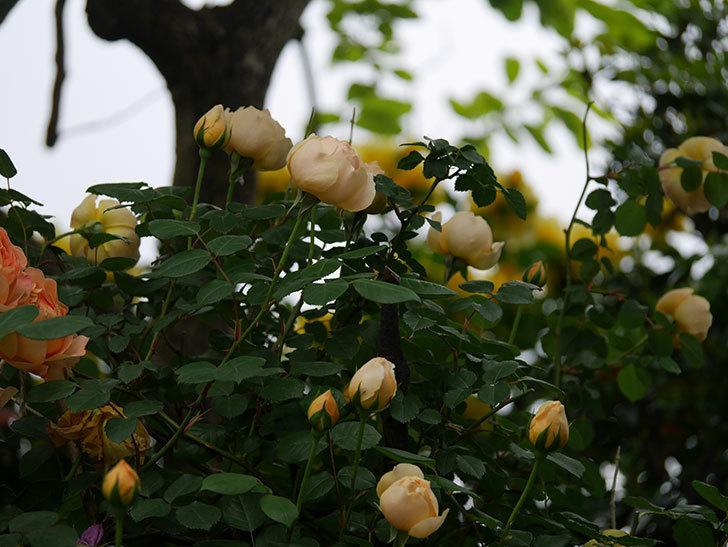 ジュード・ジ・オブスキュア(半ツルバラ)の花がたくさん咲いた。2020年-012.jpg